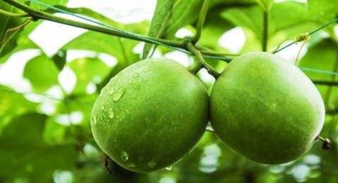 Monkfruit image